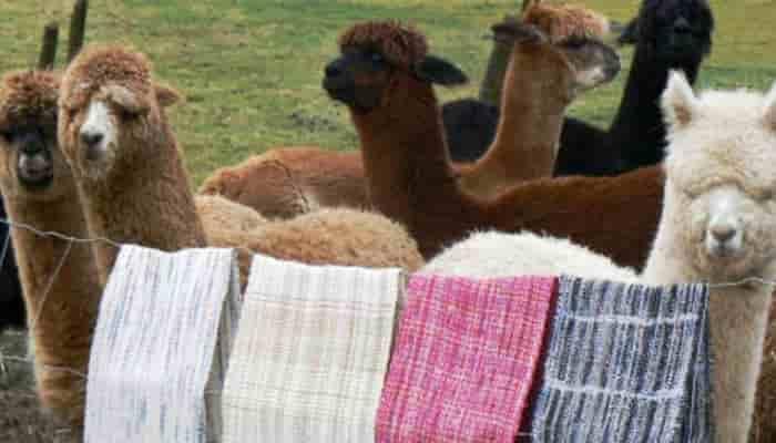 origen características y usos de la fibra de alpaca